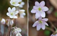Smoky Mountains Wildflowers: Hepatica