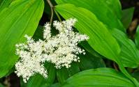 Smoky Mountains Wildflowers: False Solomon's Seal