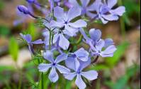 Smoky Mountains Wildflowers: Blue Phlox