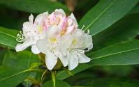 Smoky Mountains Wildflowers: Rhododendron