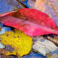 Featured Photo: Red Leaf and the Leaf Set