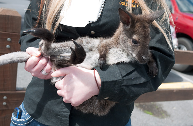 Gatlinburg Kangaroo © William Britten use with permission only