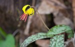 Smoky-Mountains-Pictures-Trout-Lily