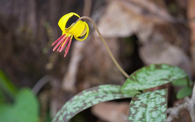 Smoky Mountains Trout Lily (Erythronium umbilicatum)