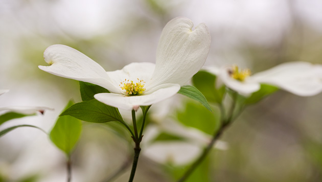 Close-up of dogwood bloom