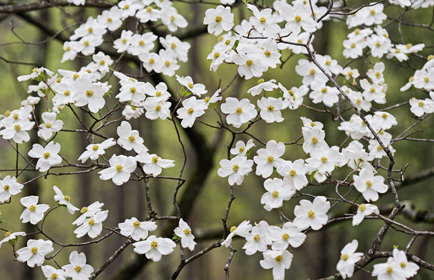 Dogwood Shower