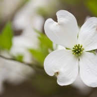 Ode to Dogwoods