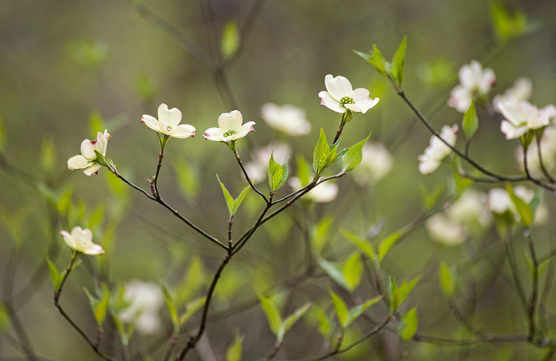 Featured Photo: Dogwood Lullaby