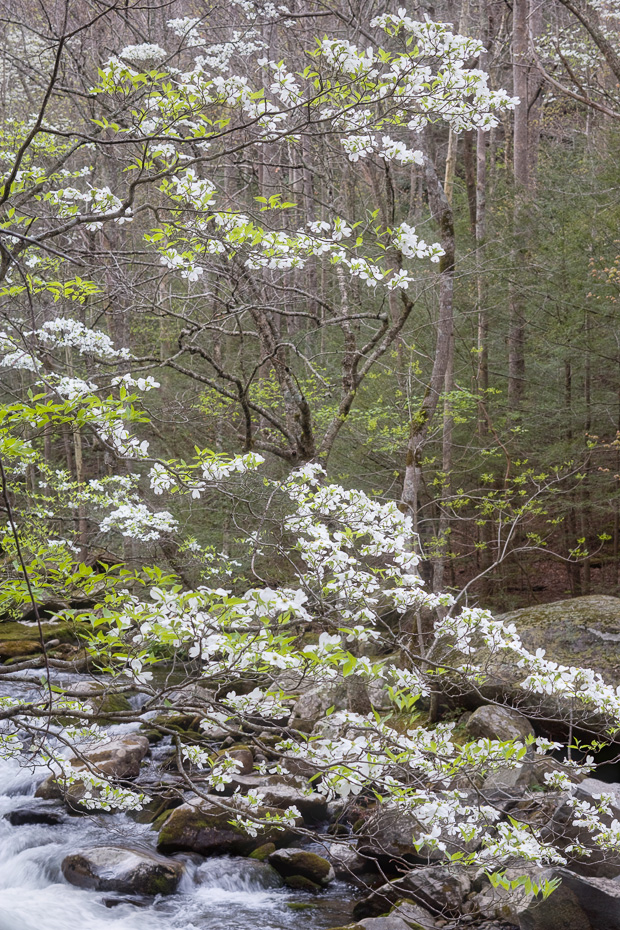 Smoky Mountains Dogwood