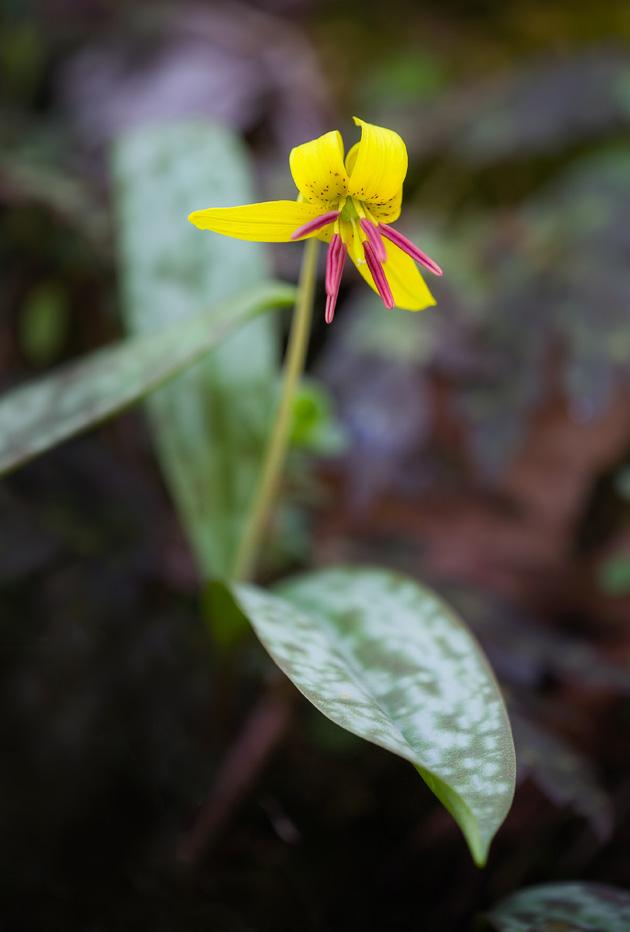 Trout Lily (Erythronium umbilicatum)