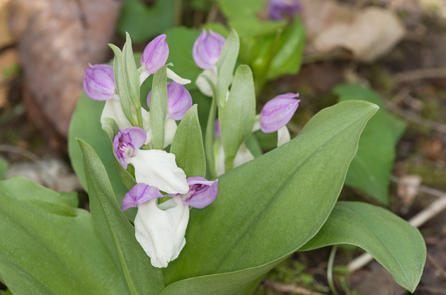 Smoky Mtn Wildflower: Showy Orchis