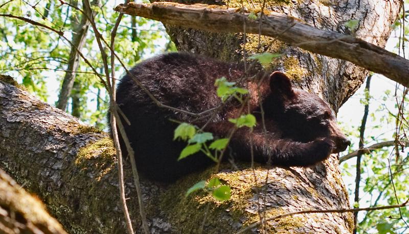 Bear Sleeping in Tree