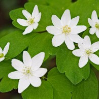 Smoky Mountains Wildflowers: Rue Anemone