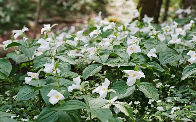 Bunches of Trilliums on the Cove Hardwoods Trail © William Britten use with permission only