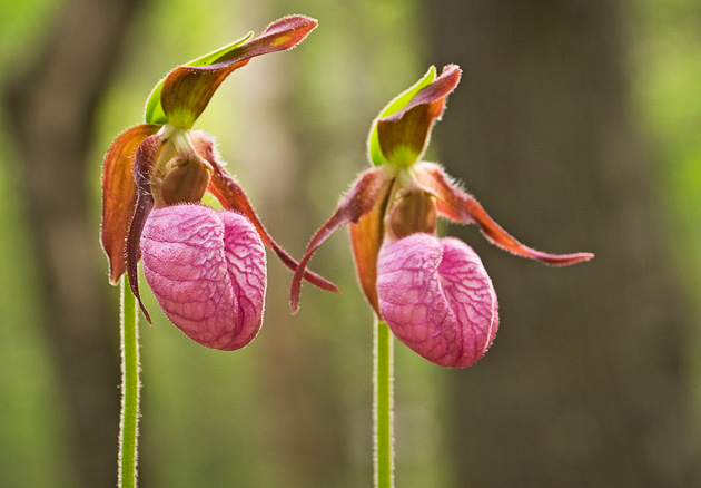 Smoky Mountains Wildflowers: Pink Lady's Slipper