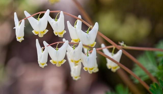 Dicentra cucullaria blooms
