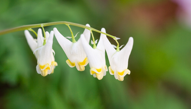 Smoky Mountains Wildflowers: Dutchmans Breeches