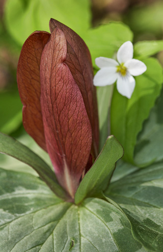 Maroon Trillium © William Britten use with permission only