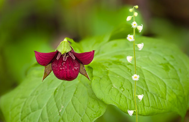 Wake Robin Trillium with Bishops Cap © William Britten use with permission only