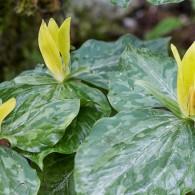 Smoky Mountains Wildflowers: Yellow Trillium