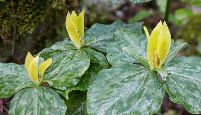 Smoky Mountains Wildflowers: Yellow Trillium