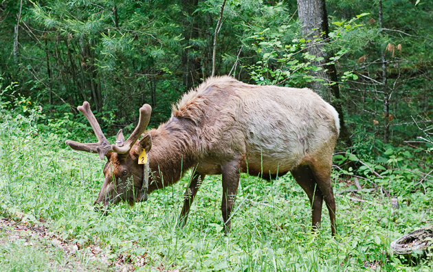 Elk in the Smoky Mountains  © William Britten use with permission only