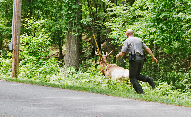 Ranger Chases Elk in the Smoky Mountains  © William Britten use with permission only