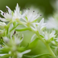 Smoky Mountains Wildflowers: Wild Stonecrop