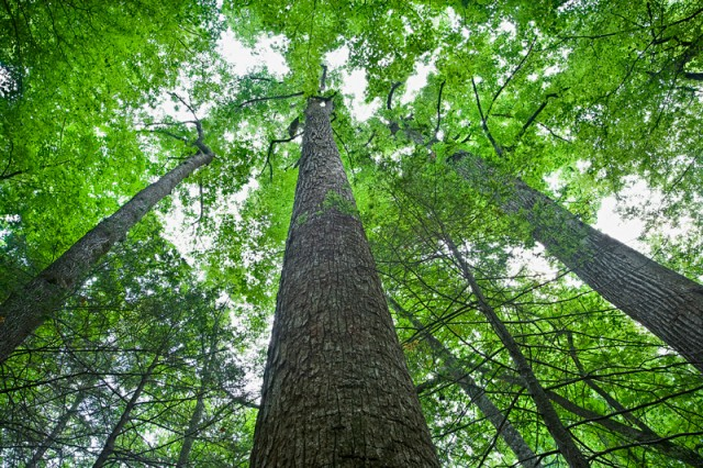 Smoky Mountains photos: Big Trees