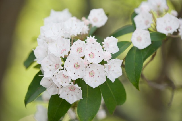 Mountain Laurel in the Smoky Mountains  © William Britten use with permission only