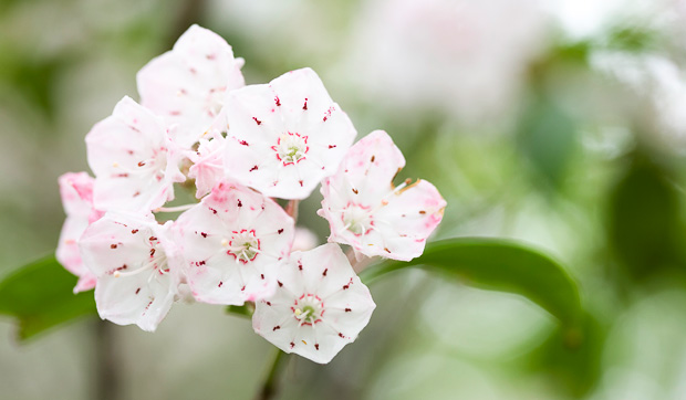 Mountain Laurel bloom in the Smoky Mountains  © William Britten use with permission only