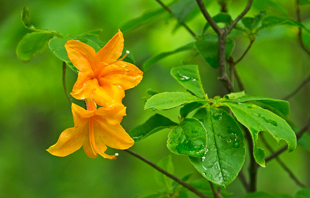 Smoky Mountain Flame Azalea