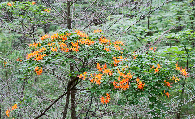 Smoky Mountain Flame Azalea  © William Britten use with permission only