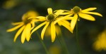Smoky Mountain Coneflower © William Britten use with permission only
