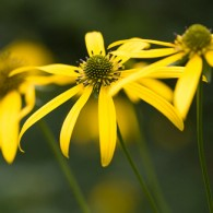Smoky Mountains Wildflowers: Coneflower