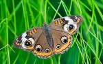 Common Buckeye butterfly © William Britten use with permission only