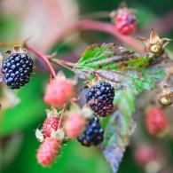 Wild blackberries ripe on the Appalachian Trail