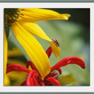 Wordless Wednesday: Ladybug, coneflower and bee balm