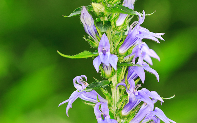 Great Blue Lobelia © William Britten use with permission only