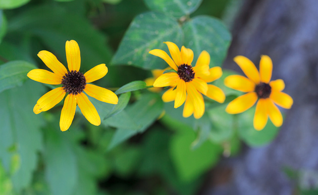 Black-eyed Susan © William Britten use with permission only