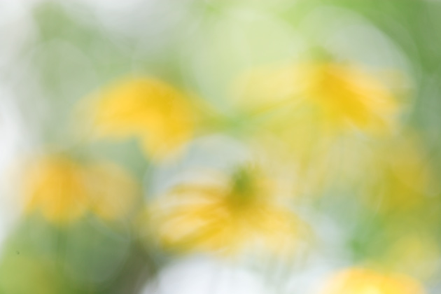Blurred version of the Coneflowers