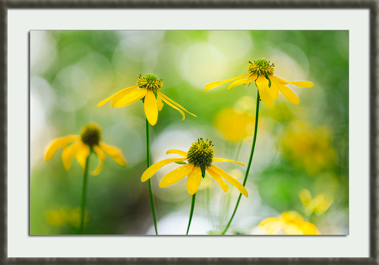Wildflower Photography: Coneflower Dreamscape