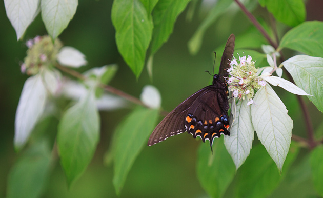 Butterfly and Mountain Mint © William Britten use with permission only