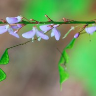 Smoky Mountains Wildflowers: Smooth Creeping Bush Clover