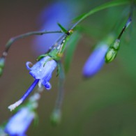 Smoky Mountains Wildflowers: Southern Harebell