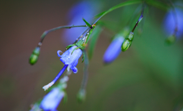 Southern Harebell © William Britten use with permission only