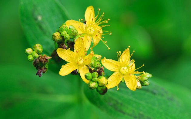 Smoky Mountains Wildflowers: St. Johnswort