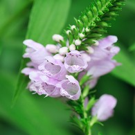 Smoky Mountains Wildflowers: False Dragonhead
