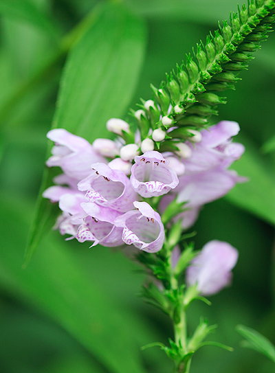False Dragonhead  © William Britten use with permission only
