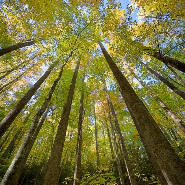Smoky Mtns Photos: Tall Trees